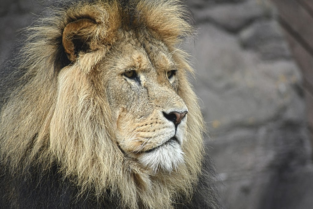 A Lion Epitomizes Masculinity